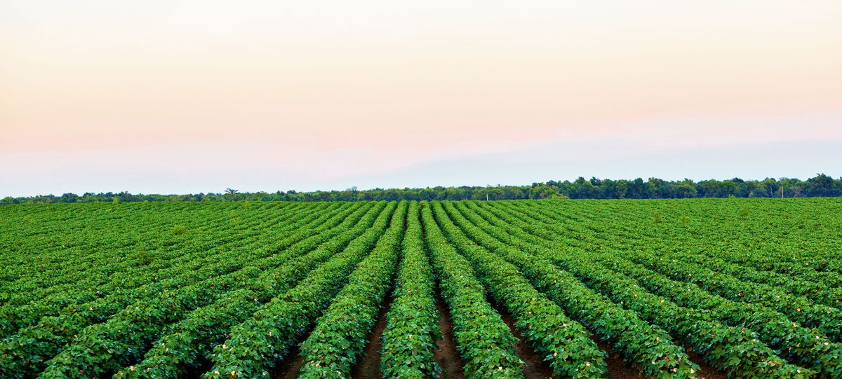 Green cotton field