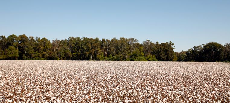 A cotton field in the horizon