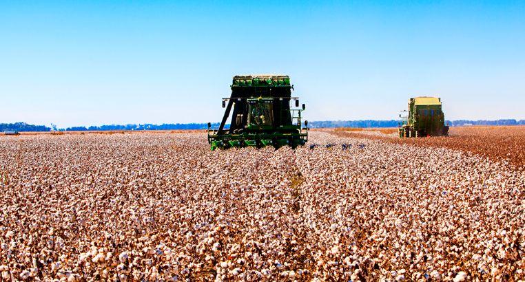 A machine picking up cotton at a cotton farm