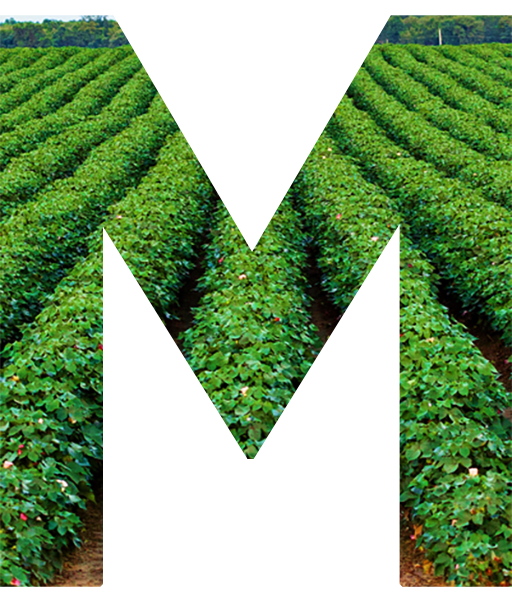 Big M with a green cotton field as background