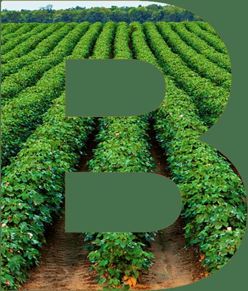 Gran B con un fondo de campo de algodón verde