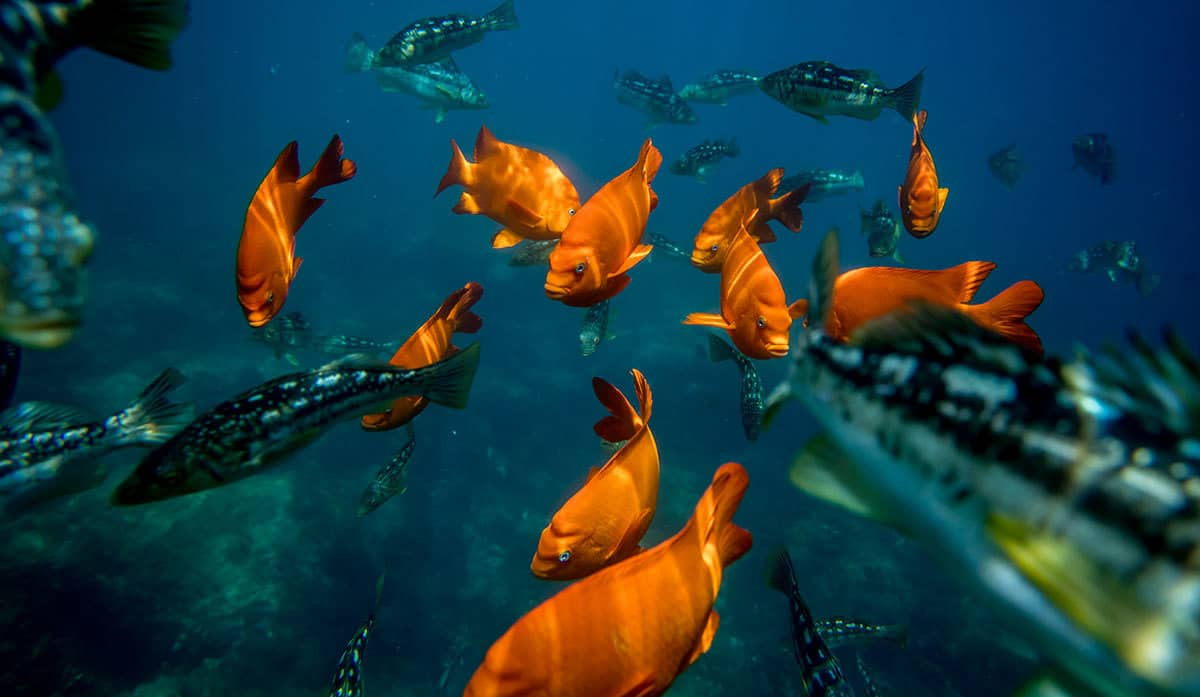 bank of orange fish under the sea