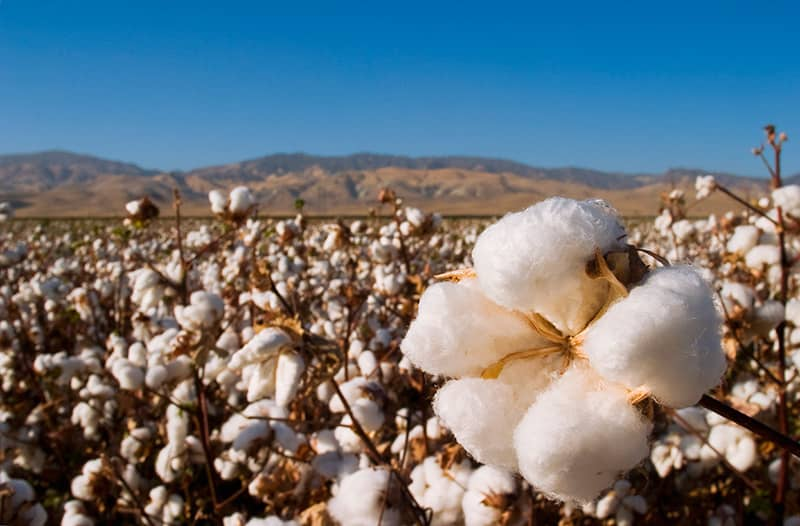 A ripped cotton field